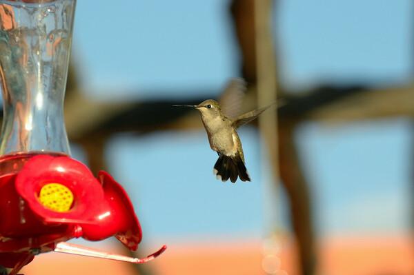 Vol sur place effectuée par le mouvement en forme de 8 de ses ailes, cabriole effectuée à une vitesse moyenne de 30 à 45 kilomètres à l'heure, vol d'avant en arrière ou vol en piqué à 96 Km /heure font de lui un acrobate inégalé.