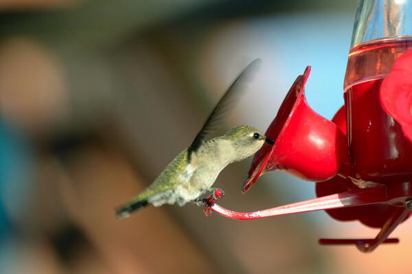 La couleur du plumage varie du brun au vert, au noir. Certaines plumes possèdent des plaques iridescentes réfléchissant les couleurs de rouge métallique ou de pourpre. Les sexes sont généralement distinctifs l'un de l'autre.