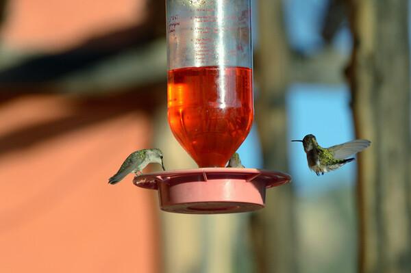 Les colibris se caractérisent par une taille de 6-20 cm, des ailes longues et étroites; une queue variable; des pattes courtes se terminant par des pieds minuscules et fragiles et un bec effilé ou pointu, droit ou recourbé.