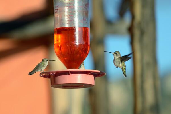 Oiseaux solitaires et querelleurs, ils possèdent un vol rapide et agile. Ils ne marchent ni ne grimpent.