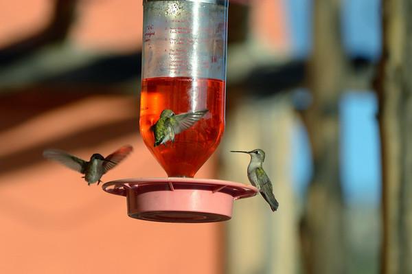 Pendant le petit déj, Frédéric fait une étude approfondie des colibris, qui viennent dans la mangeoire suspendue à l'entrée du restaurant...