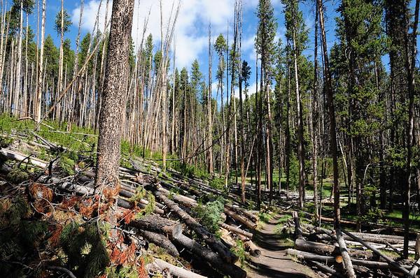 Le chemin est taillé au milieu des troncs