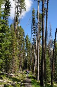 """C'est trés curieux ce mélange de troncs brulés et des """"nouveaux"""" arbres"""