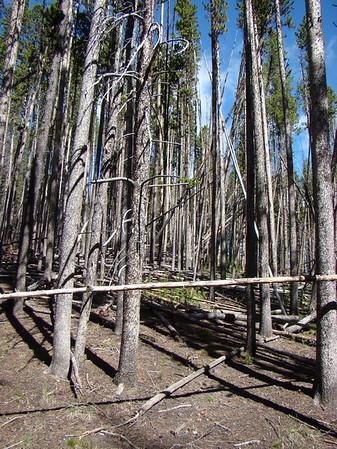 les troncs brulés dominent