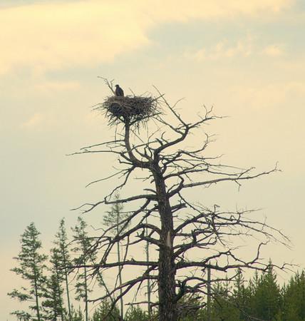 A l'entrée du parc, il y a un nid d'eagle. La luminosité est mauvaise ce matin, mais on distingue un aiglon