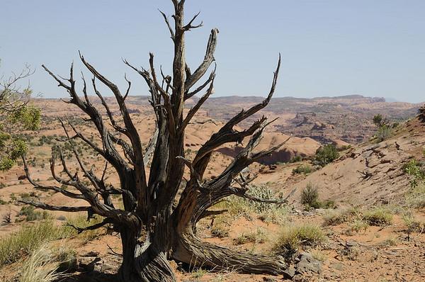 Ces troncs de juniperus morts sont du plus bel effet