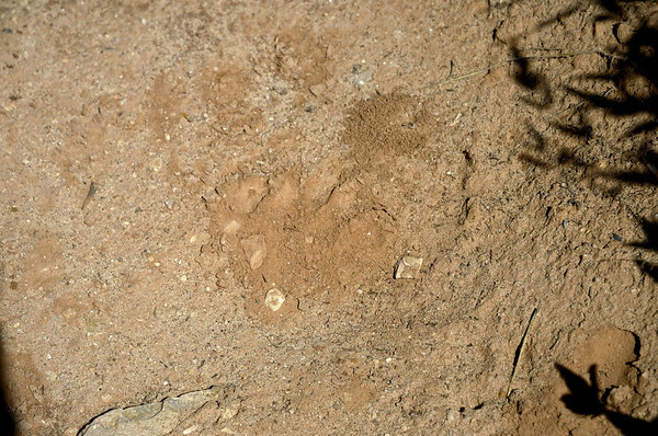 Nous suivons les traces d'un gros animal. Coyote, Puma????