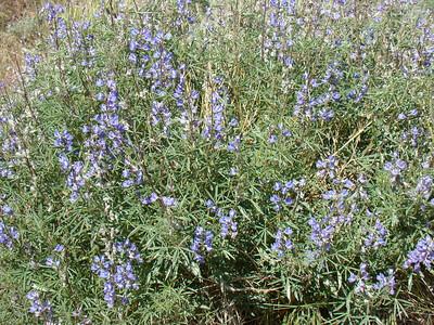 des lupins bleus Blue Lupin (Lupinus Angustifolius)