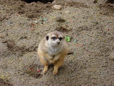 Le suricate nous attendait