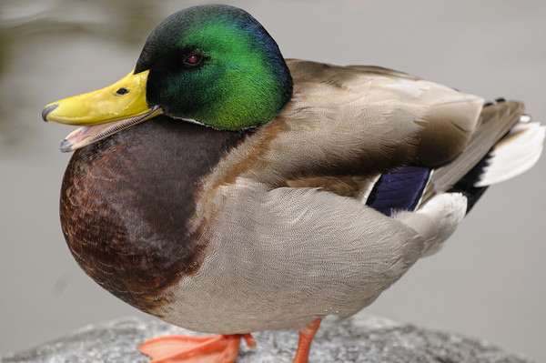 Frédéric fait une étude approfondie du canard
