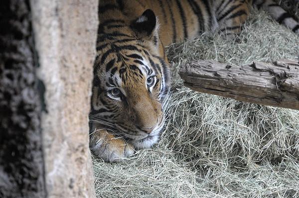 On va vers les pandas. Pour cela, on passe devant l'enclos des tigres. Il y a une vitre entre le tigre et nous!!