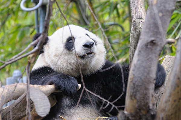 Ces pandas sont tous nés en captivité. Il y a même un bébé