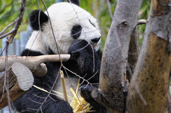 """Et nous arrivons au """"must see hit"""" , l'enclos des pandas"""
