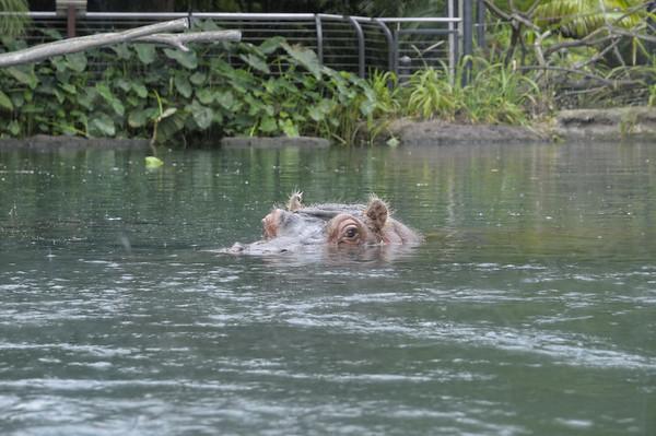 les hyppos ont un grand bassin. La pluie, qui vient de se mettre à tomber, ne les gène pas!