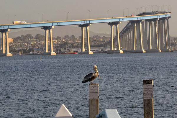Nous prenons la péninsule de Coronado, en face le port de San Diego. Un pélican est juste là pour m'attendre!