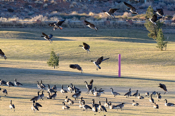 //www.sacbee.com/2010/06/10/2813717/border-collies-trained-for-goose.html dans d'autre endroits, des chiens sont dresses pour empêcher les oies d'atterrir