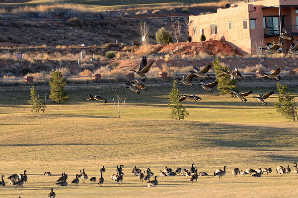 "Over the past 15 years, geese by the thousands have decided to make Utah's golf courses their homes, not only in the winter, but year round. While they don't get in the way of golfers much, it's what they leave behind on the green grass that aggravates golfers and those who take care of the courses. The Canada geese, which were nearly extinct back in the early 1960s, used to fly south over Utah on their way to warmer climes. However, when the state started experiencing milder winters, a lot of the geese decided ""this is the place"" to make their homes."