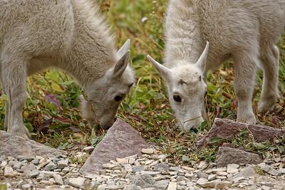 2015-08-29 Hidden Lake, les goats