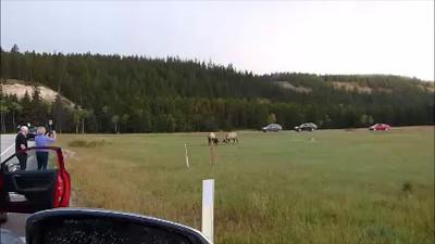 Vidéo: combat de wapitis devant le lodge. Cliquer pour lire