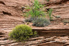 Spring growth on the sandstone cliffs, Glen Canyon, Arizona