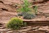 Spring growth on the sandstone cliffs, Glen Canyon, Arizona