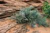 Desert p;lans in the spring, Glen Canyon, Arizona