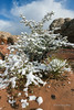 Snow-covered manzanita and yucca, White Pocket, Vermillion Cliffs NM, Arizona