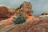 Spring growth on tree with fresh snow, White Pocket, Vermillion Cliffs NM, Arizona