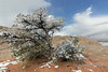 """Snow covered pinion pine and a peek-a-boo look at the distant snow covered desert, White Pocket, Vermillion Cliffs NM, Arizona<br /> <br /> A few more photos from White Pockets can be seen here: <a href=""""http://goo.gl/o7rwjB"""">http://goo.gl/o7rwjB</a><br /> <br /> 19/07/14  <a href=""""http://www.allenfotowild.com"""">http://www.allenfotowild.com</a>"""