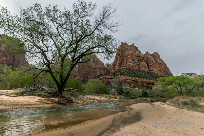 Cottonwood tree on the Virgin River, Court of the Patriarchs, Zion National Park, Utah