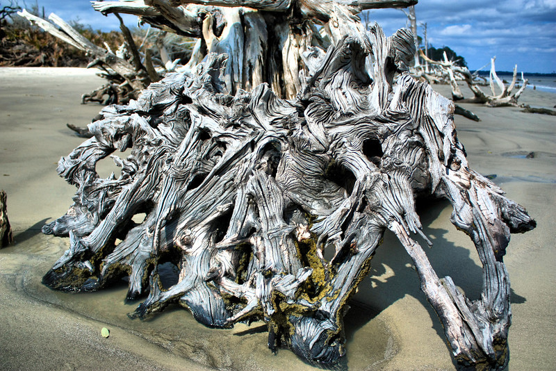 The roots of an old driftwood tree on the beach of Jekyll Island.
