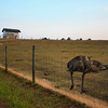 An emu along Rt. 25 south of Atlanta, GA.