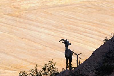 2012 30 Mai Many Pools - big horns (Zion)