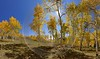Payson Wasatch Cache Valley Nebo Loop Utah Tree Prints For Sale Modern Wall Art Leave Barn Sunshine - 011935 - 02-10-2012 - 13453x7901 Pixel