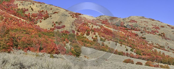 Preston Utah Maple Tree Autumn Color Colorful Fall Fine Art Photography Galleries Fine Art - 016695 - 01-10-2012 - x Pixel