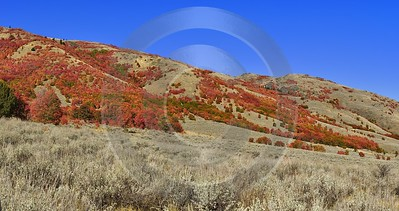 Preston Utah Maple Tree Autumn Color Colorful Fall Stock Fine Art Print Flower Modern Art Print - 011850 - 01-10-2012 - 12735x6733 Pixel