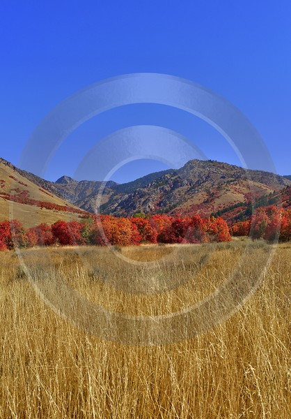 Smithfield Utah Maple Tree Autumn Color Colorful Fall Flower Sale Stock Art Prints Panoramic - 011867 - 01-10-2012 - 7351x10562 Pixel