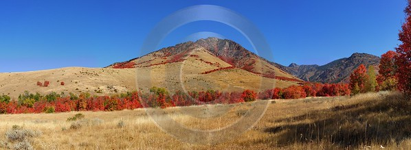 Smithfield Utah Maple Tree Autumn Color Colorful Fall Western Art Prints For Sale - 011866 - 01-10-2012 - 21625x7906 Pixel