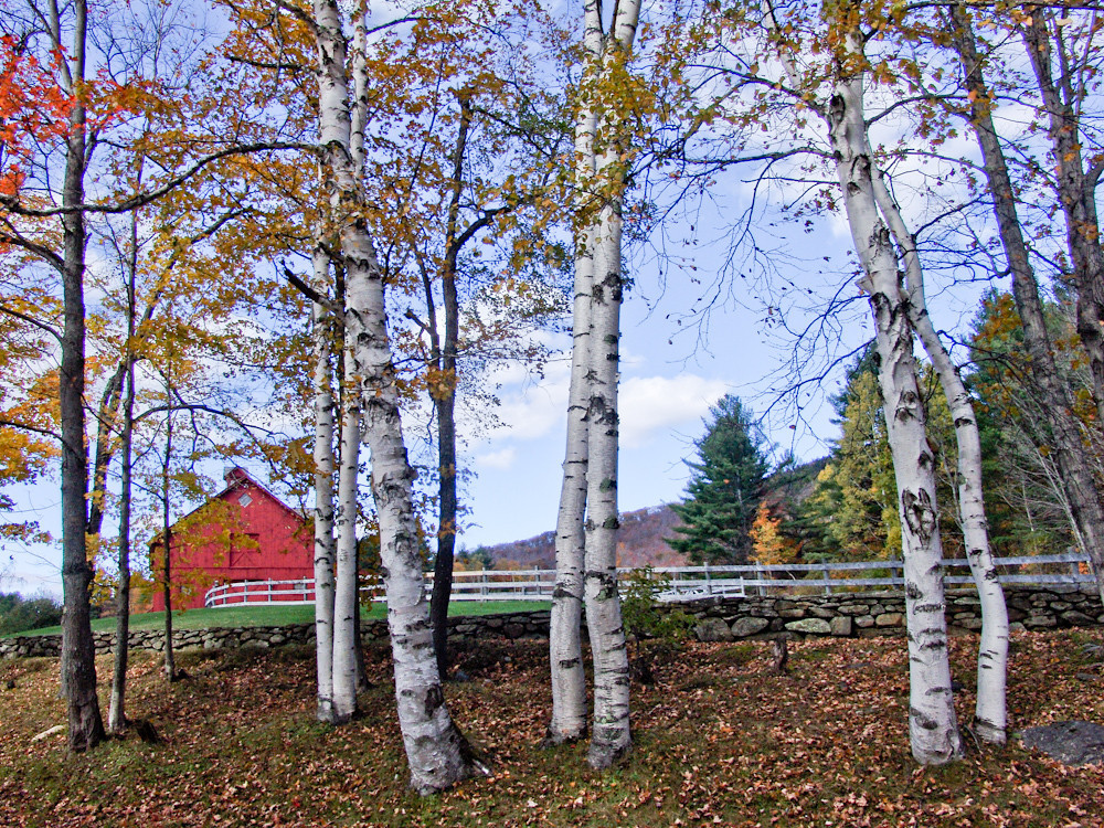 Barn and Birches