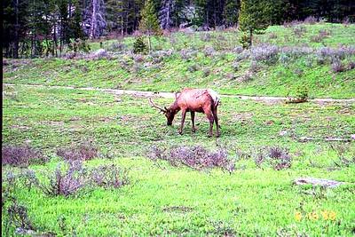 08 - Elk