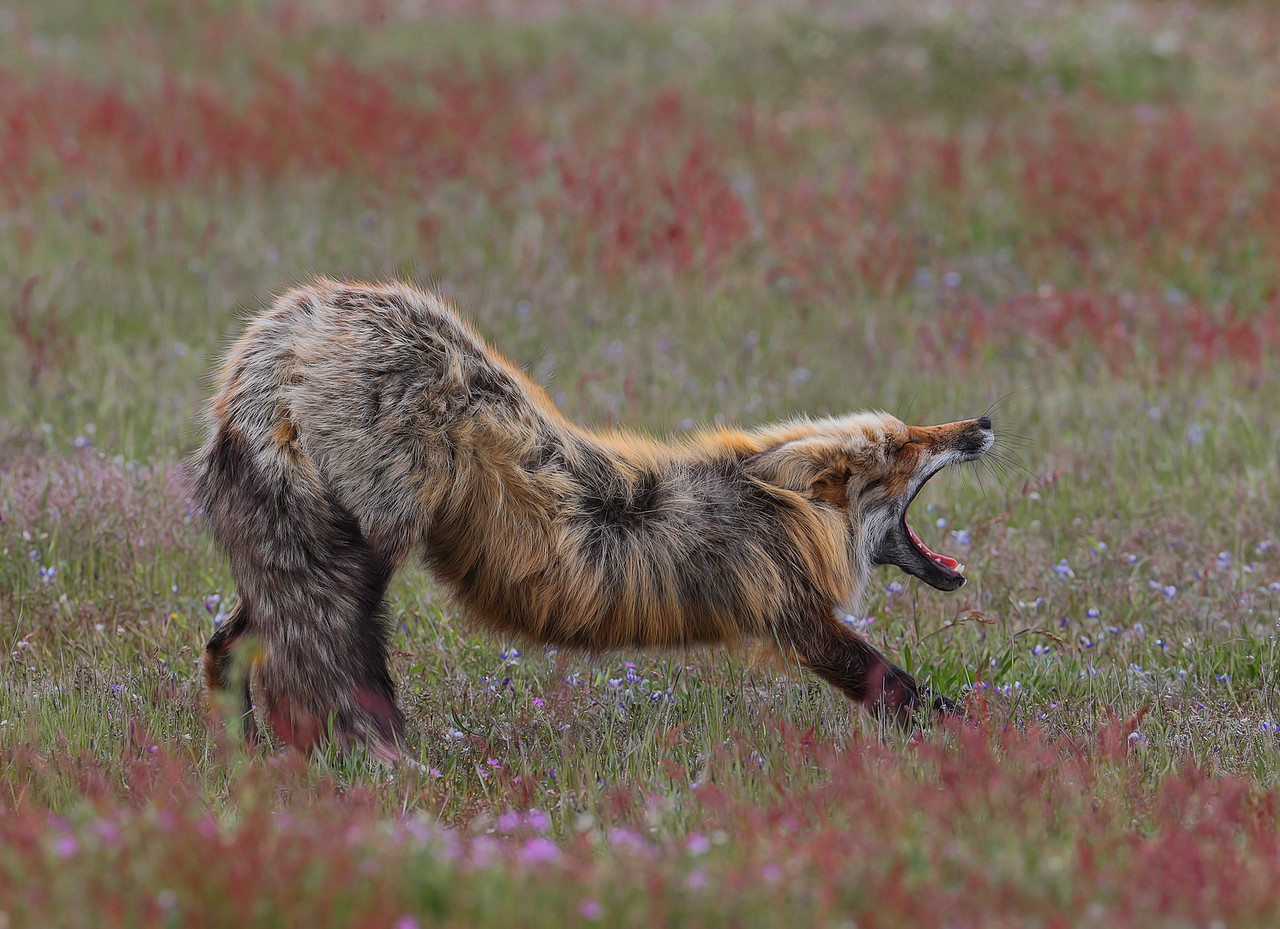 A Male Wild Fox stretches and delivers a Huge Yawn after a nice aternoon nap