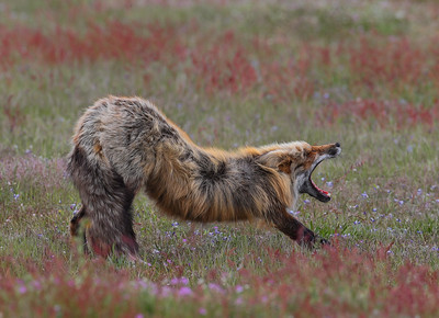 An Adult Male Wild Fox stretches and delivers a Huge Yawn after a nice aternoon nap