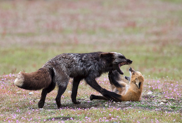 A Young Wild Fox Pup pesters his Mother for regurgitated food