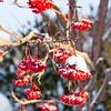 Berries, Whitehorse