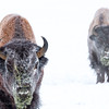 Wood Bison, Yukon Animal Preserve