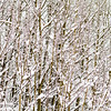 Layered branches, Whitehorse
