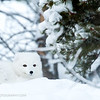 Arctic fox, Yukon Animal Preserve