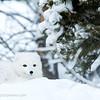 Arctic fox, Yukon Animal Preserve