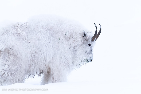 Mountain goat, Yukon Animal Preserve