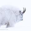 Mountain goat, Yukon Animal Preserve